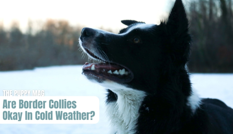 are-border-collies-good-with-cold-weather
