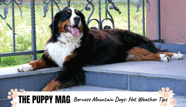 How To Cool Down Bernese Mountain Dog? 8 Hot Weather Tips