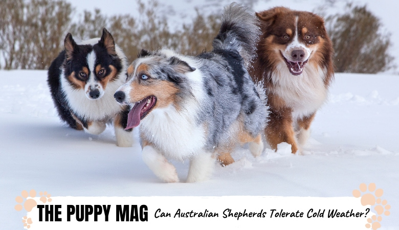 Australian Shepherds In Cold Weather: What You Need To Know!