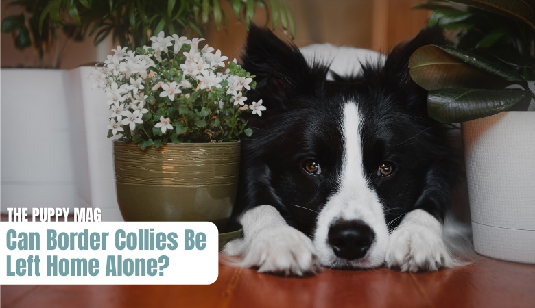 can-border-collies-be-left-home-alone