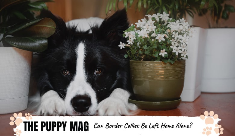 Can You Leave A Border Collie Home Alone? Important Advice