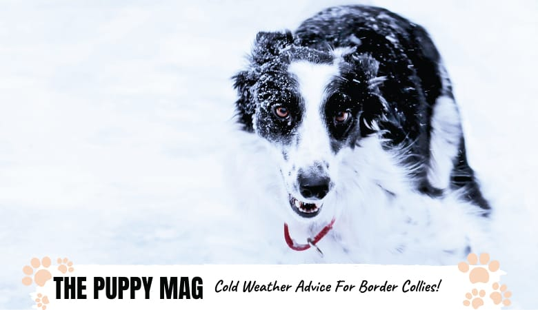 Can Border Collies Tolerate Cold Weather? Safety Tips