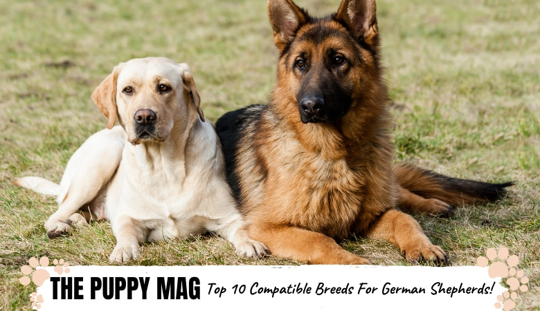 compatible-breeds-for-a-german-shepherd.png
