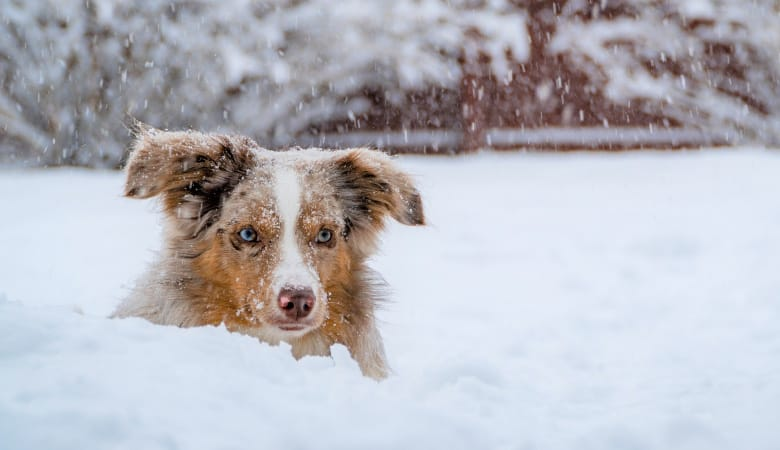 do-australian-shepherds-tolerate-cold-weather1