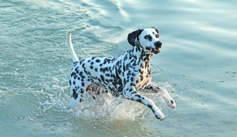 do-dalmatians-like-water