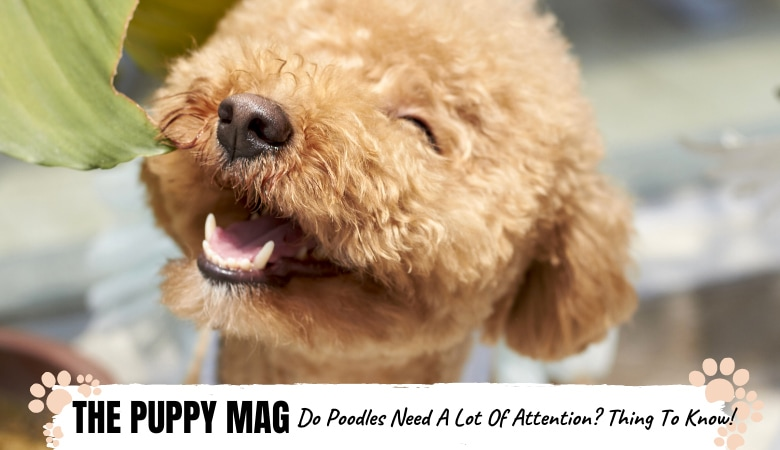 Do Poodles Need A Lot Of Attention? We Found Out