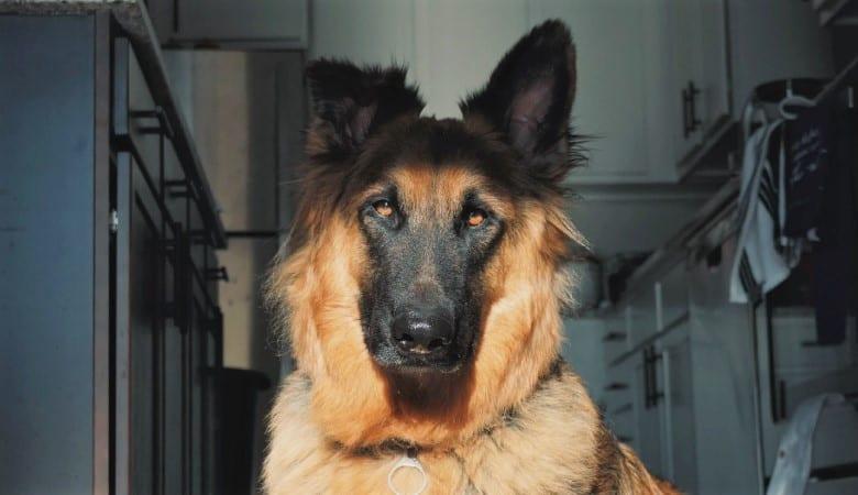 does-my-german-shepherd-love-me