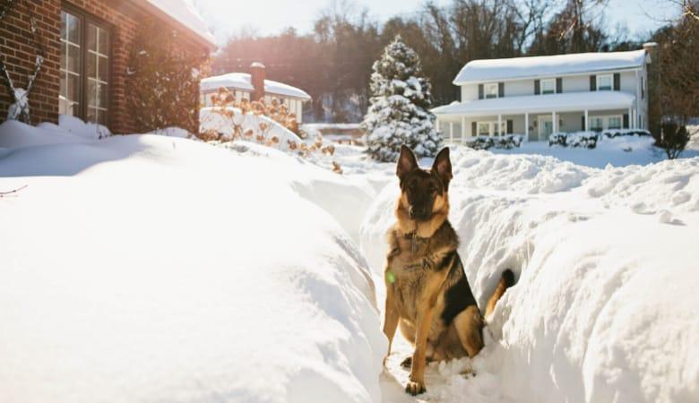 german-shepherd-outside-winter