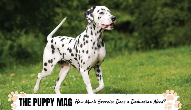 How Much Exercise Does a Dalmatian Need? Vet-Approved!