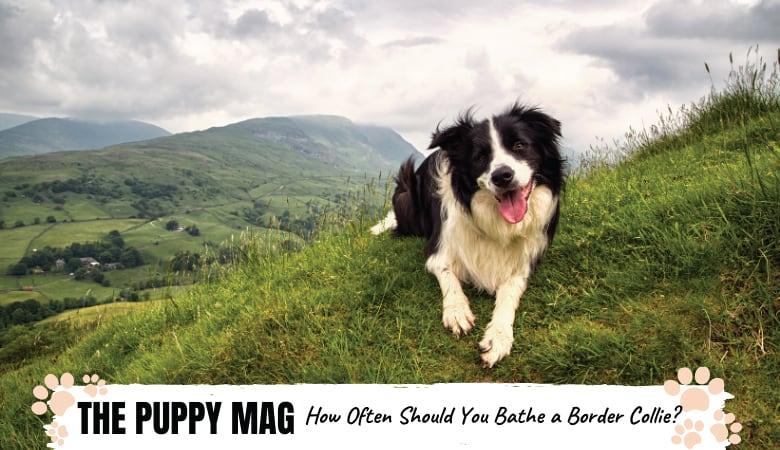 How Often Should You Bathe a Border Collie? Bathing Tips