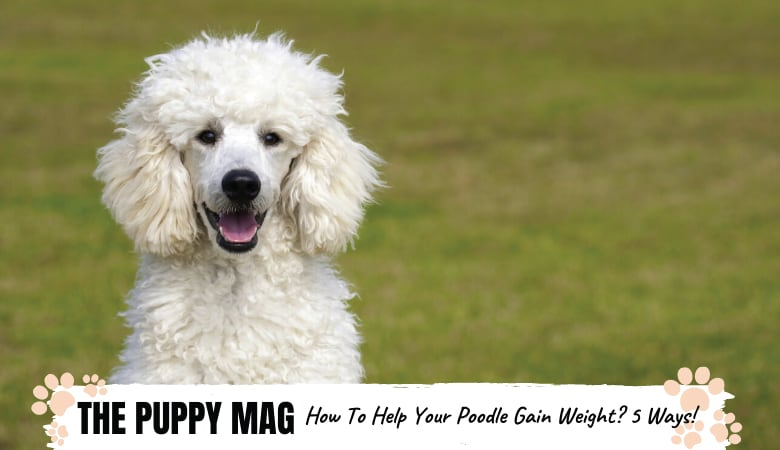 How Do I Get My Poodle To Gain Weight: 5 Great Ways