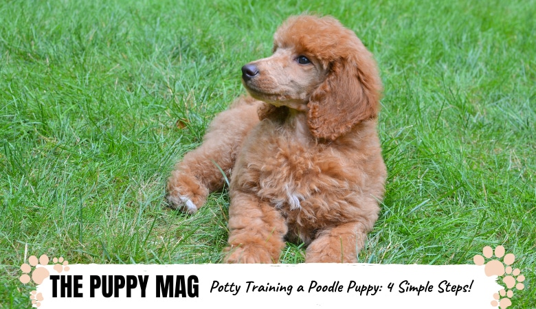 Potty Training A Poodle Puppy In 4 Quick Steps: Top Tips