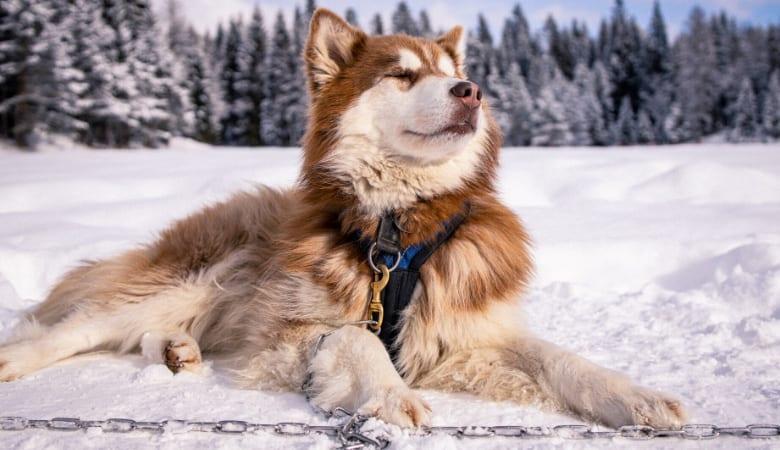 husky frostbite