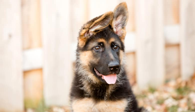 When Will My German Shepherd's Ears Stand Up? Top Ear FAQs