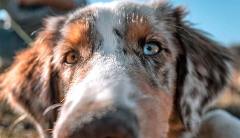 why-do-australian-shepherds-have-blue-eyes1