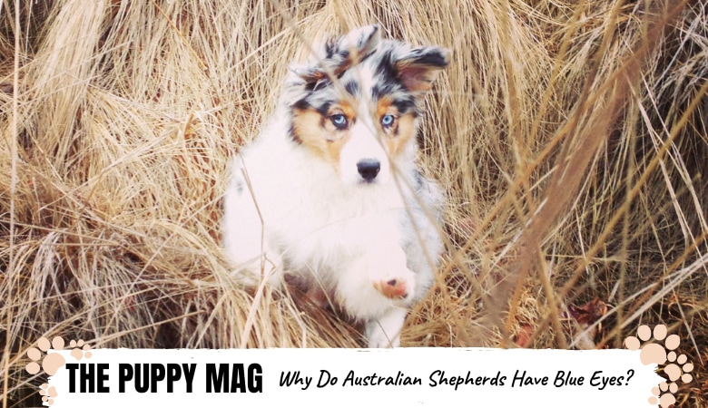 why-do-australian-shepherds-have-blue-eyes_.png
