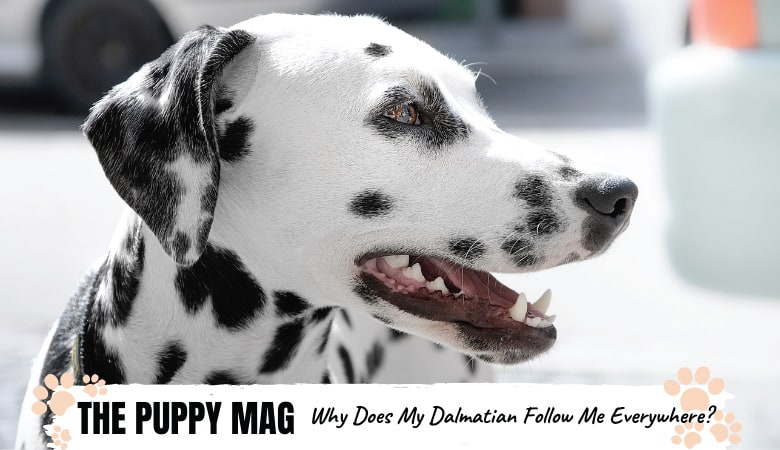 Why Does My Dalmatian Follow Me Everywhere? How To Stop It