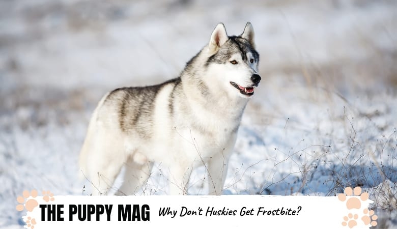 Why Don't Huskies Get Frostbite | Explained!
