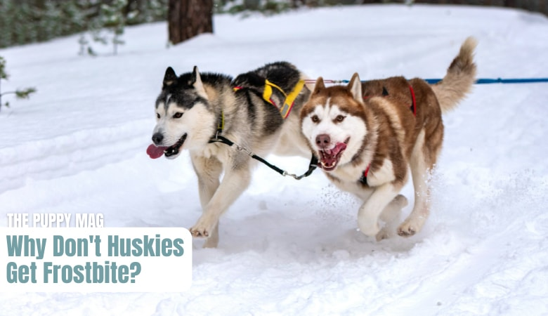 why-dont-huskies-get-frostbite