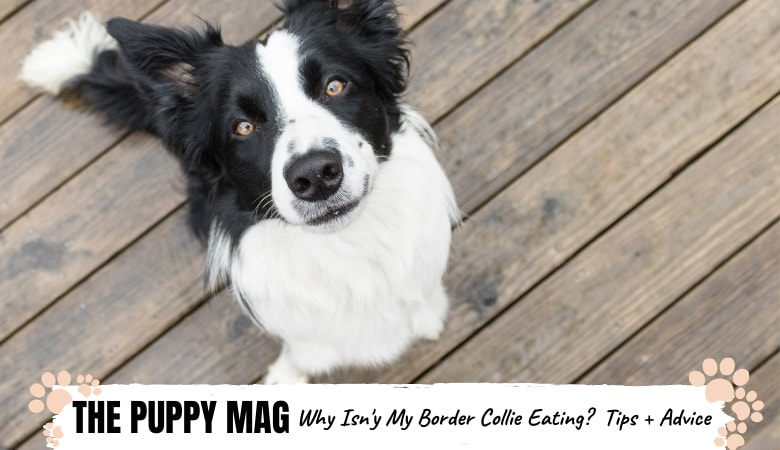 My Border Collie Won't Eat | Here's Why And What To Do