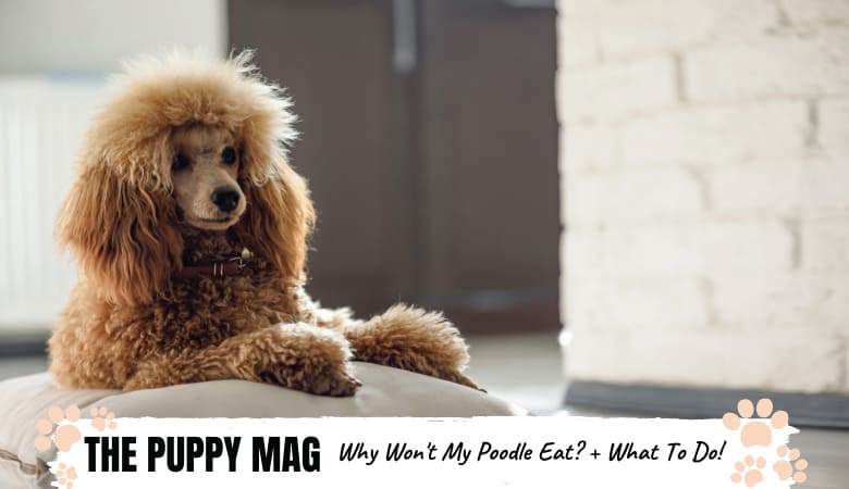 Why Isn't My Poodle Eating? 7 Reasons Why & What To Do