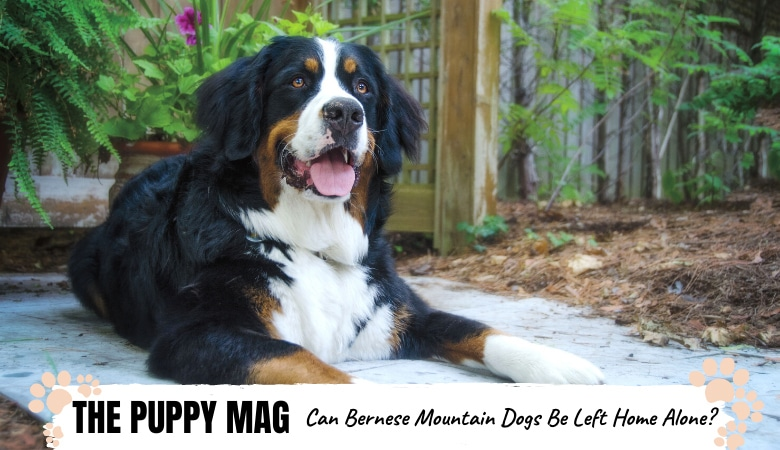 Can Bernese Mountain Dogs Be Left Alone? Helpful Advice
