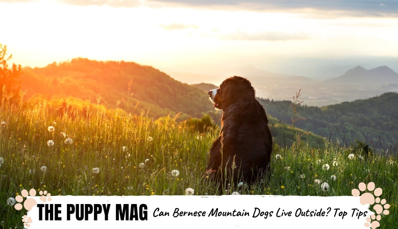 Can Bernese Mountain Dogs Live Outside? Must-Read Info