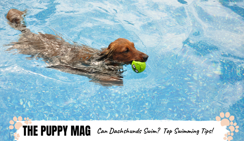 can-dachshunds-swim.png