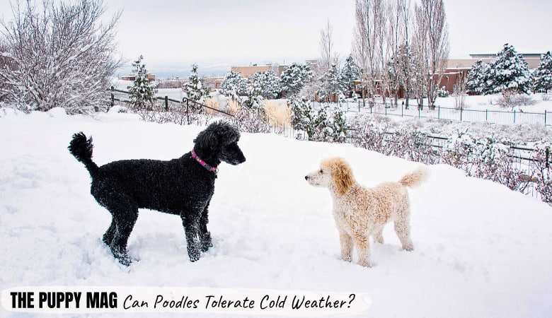 Can Poodles Tolerate Cold Weather? Winter Safety Guide