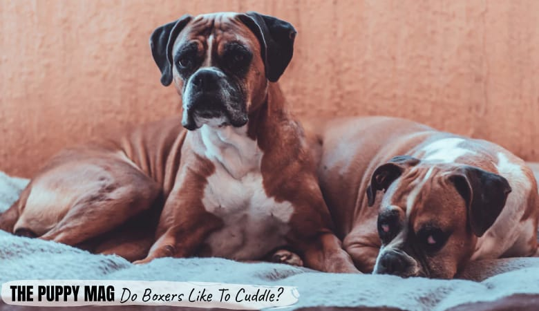 Do Boxers Like to Cuddle? Boxer Affection Tips & FAQs