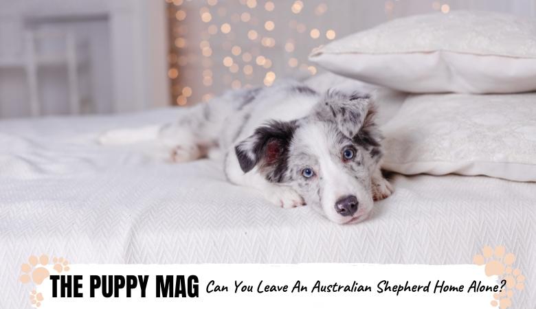 How Long Can You Leave An Australian Shepherd Home Alone?