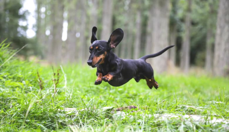 How Much Exercise Does a Dachshund Puppy Need? Full Guide