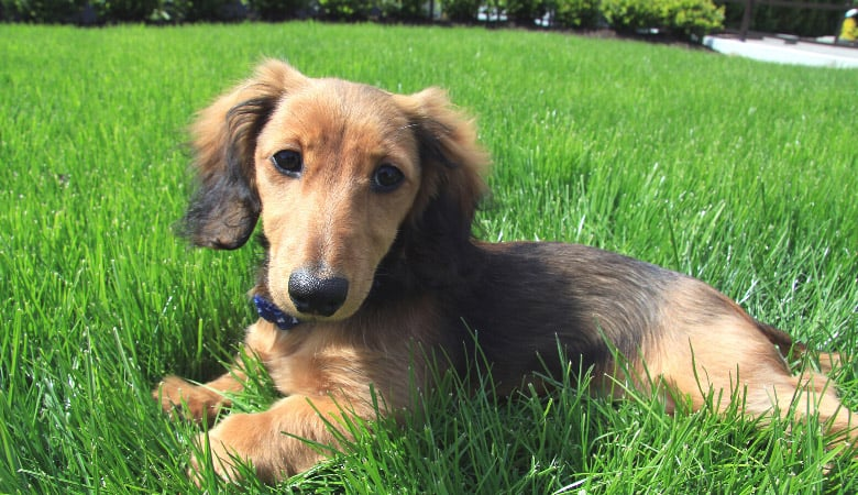 how-much-exercise-does-a-dachshund-puppy-need2