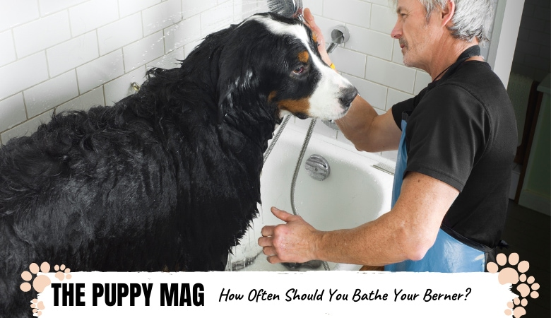 How Often Should You Bathe a Bernese Mountain Dog?