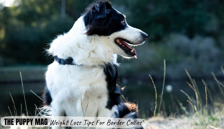 How To Help Border Collie Lose Weight: 5 Effective Ways
