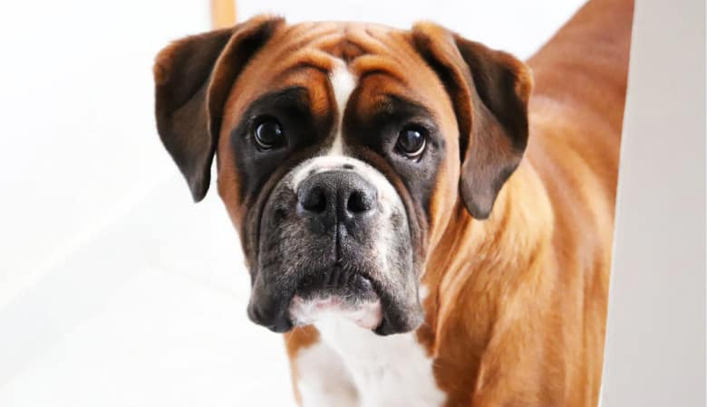 How To Help Boxer Dog Gain Weight: 5 Best Ways