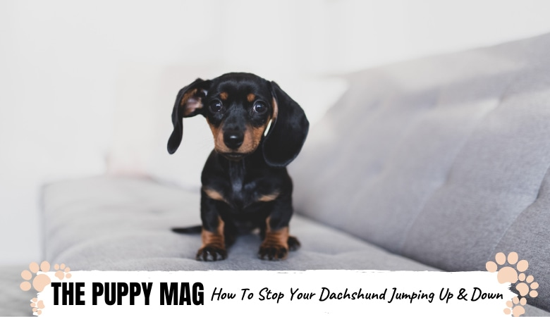 How To Stop Dachshund From Jumping On The Couch: Top Tips