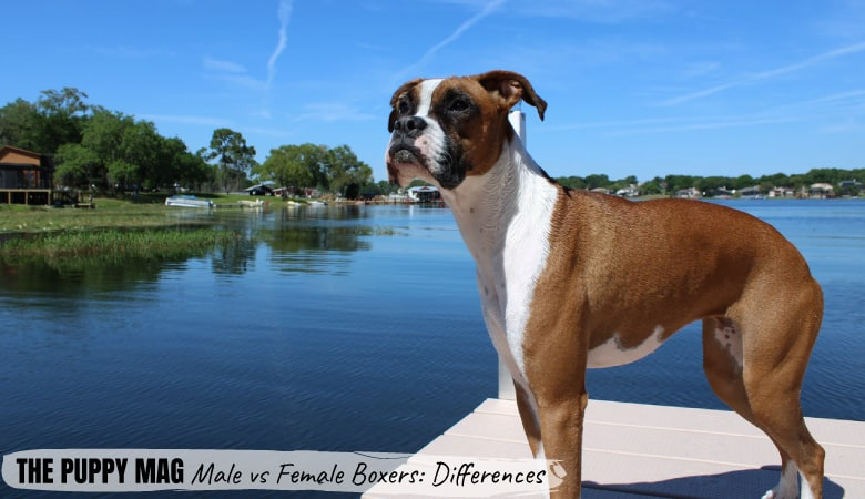 Male Vs Female Boxer Dogs: The Key Differences