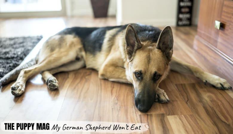my-german-shepherd-wont-eat1