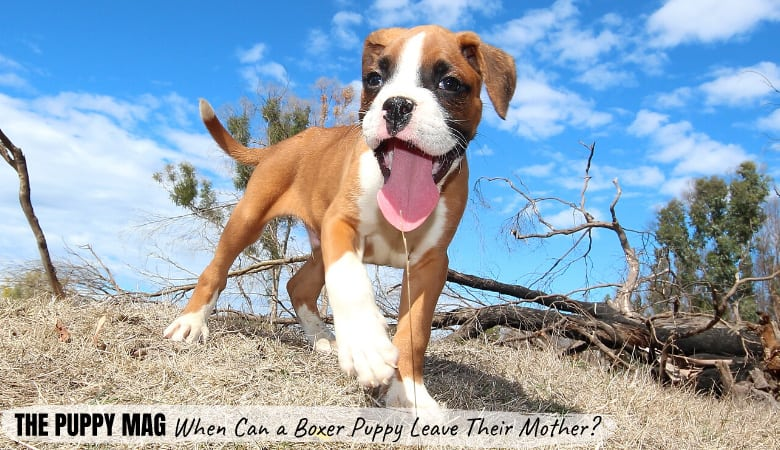 When Can Boxer Puppies Leave Their Mother? Top Guidelines
