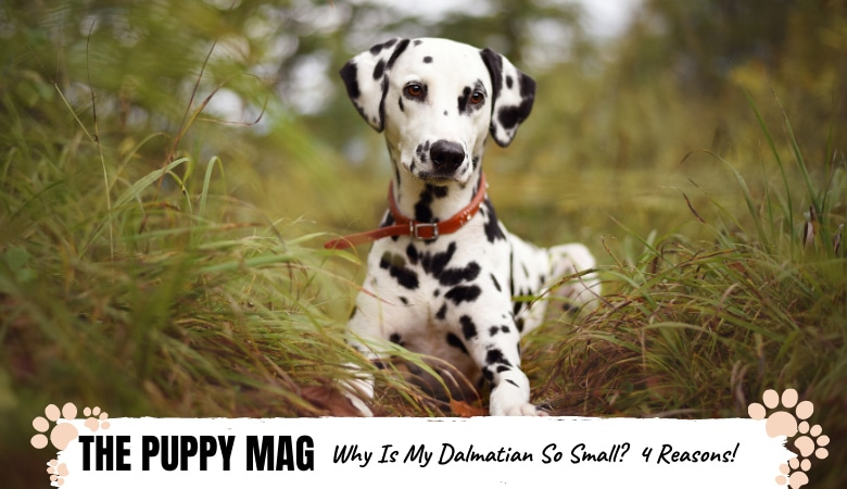 Why Is My Dalmatian So Small?  4 Reasons Why & What To Do