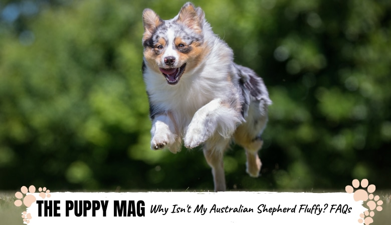 why-isn't-my-australian-shepherd-fluffy