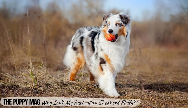 why-isn't-my-australian-shepherd-fluffy1