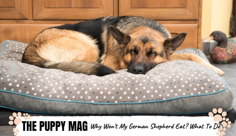 Why Won't My German Shepherd Eat? 6 Reasons & What To Do