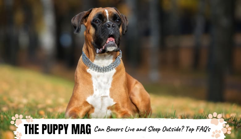 Are Boxers Outside Dogs? Top Questions & Answers