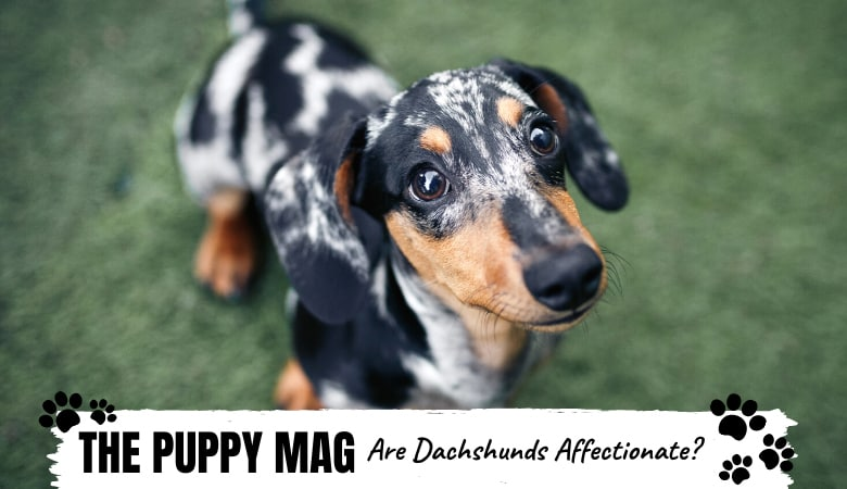 Are Dachshunds Affectionate? Small Pup With a Big Heart?