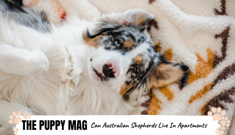 can-australian-shepherds-live-in-apartments