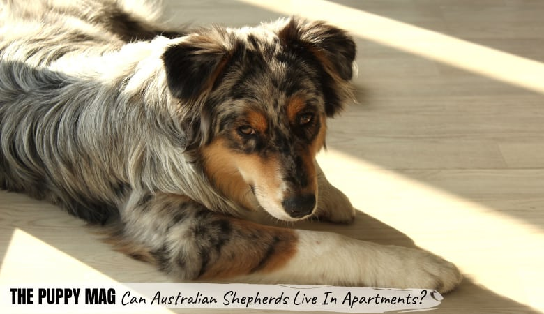 Can Australian Shepherds Live In Apartments? What To Know