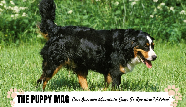 can bernese mountain dogs go running