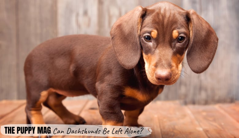 Can Dachshunds Be Left Alone? Tips For When You Go To Work